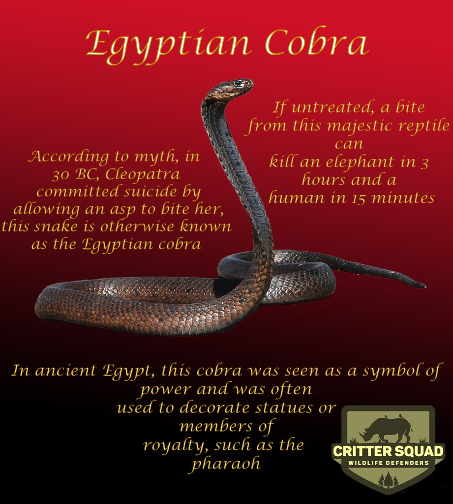 Animal of the Week Egyptian Cobra