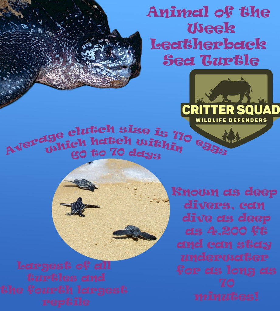 Animal of the week leatherback sea turtle