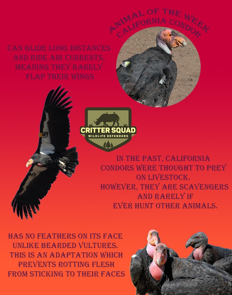 Animal of the Week California Condor