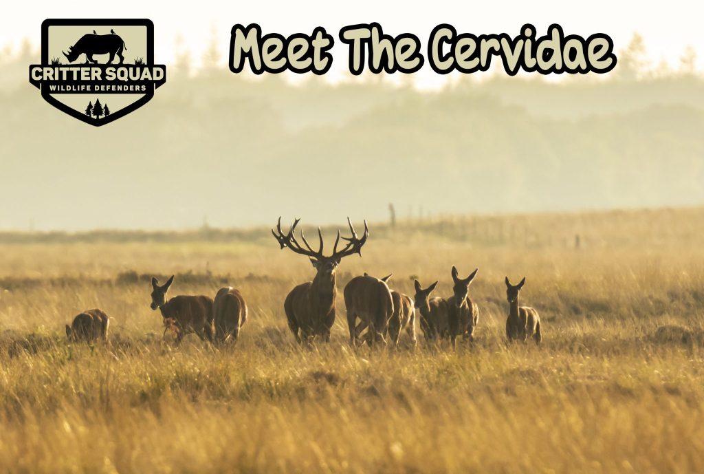 Herd of red deer cervus elaphus rutting and roaring during sunse