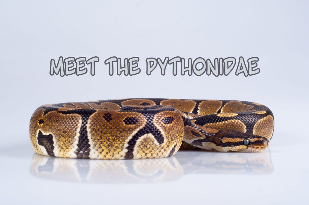 Beautiful strong python isolated on gray