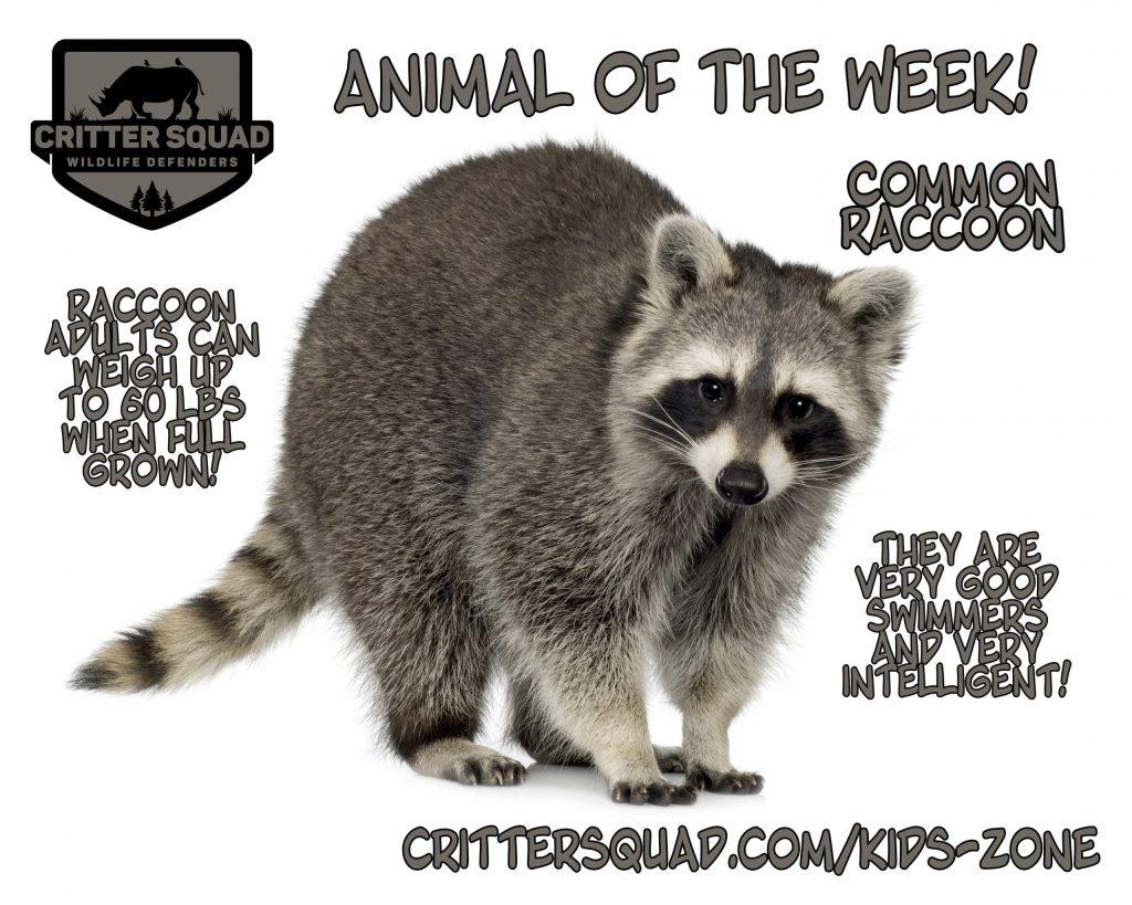 raccoon ( months) Procyon lotor