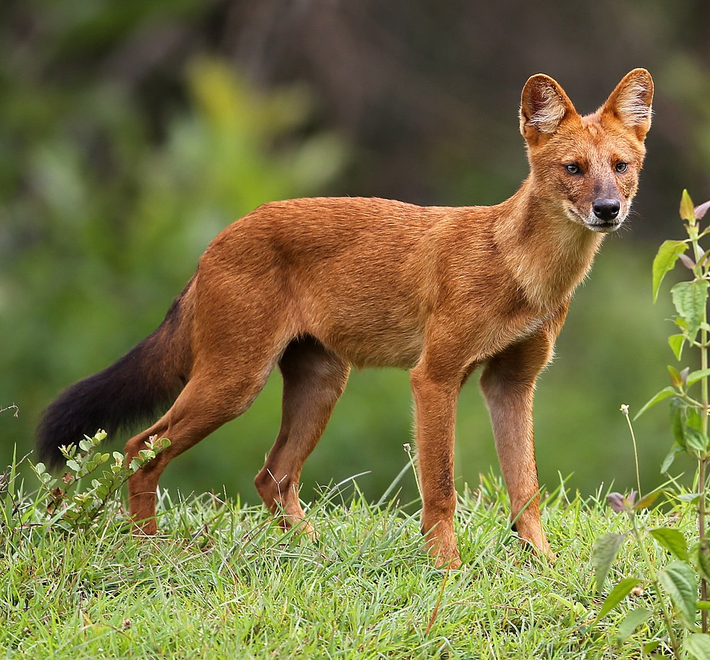 px Dhole (Asiatic wild dog) cropped