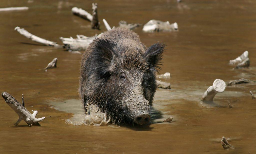 Wild Boar Habbitat