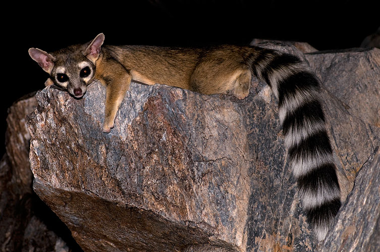 Squaw ringtail