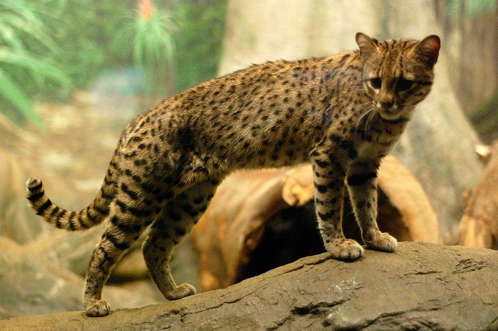 px Geoffroy's Cat
