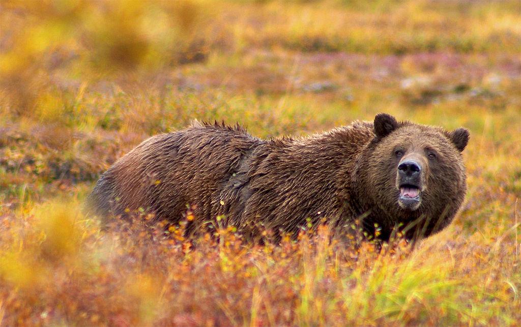 px Grizzly Denali Crop