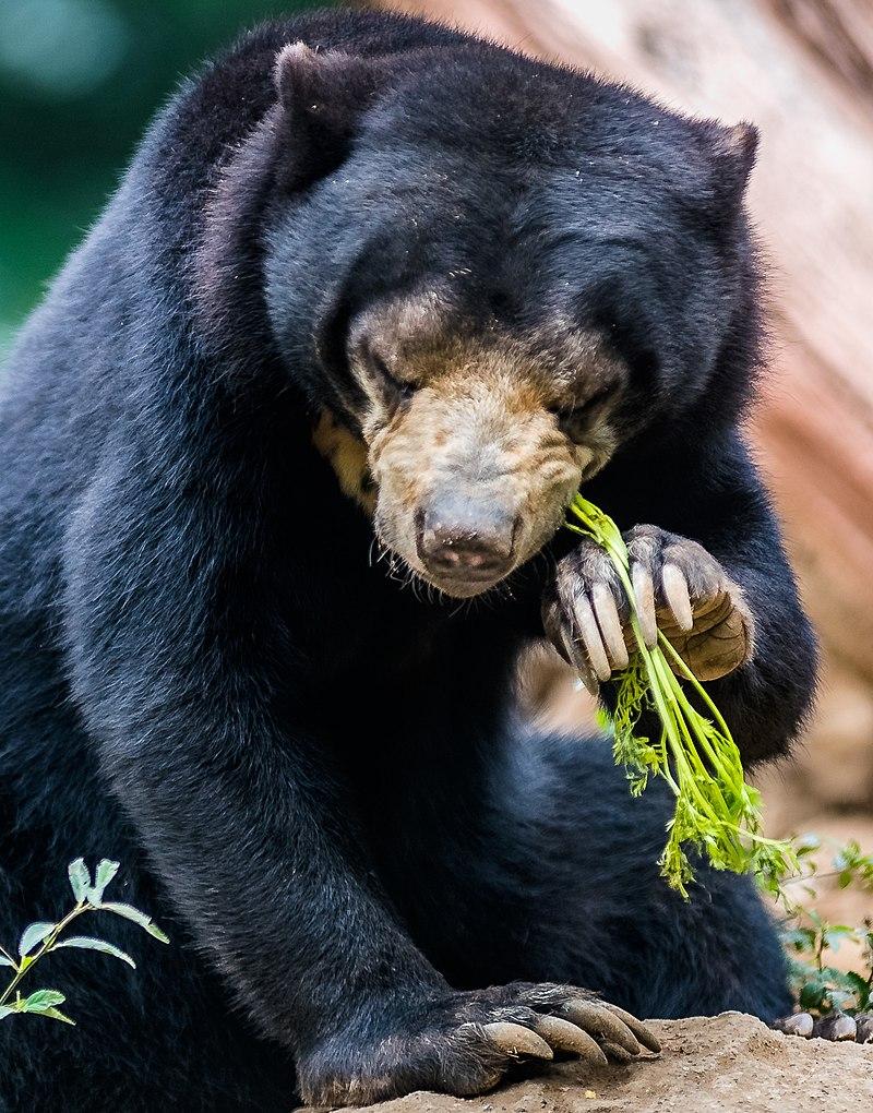px Sun bear eating plant
