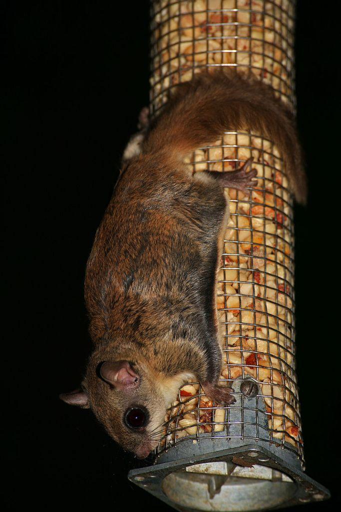 Glaucomys volans peanut feeder