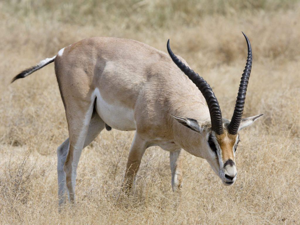 Männliche Grant Gazelle im Ngorongoro Krater