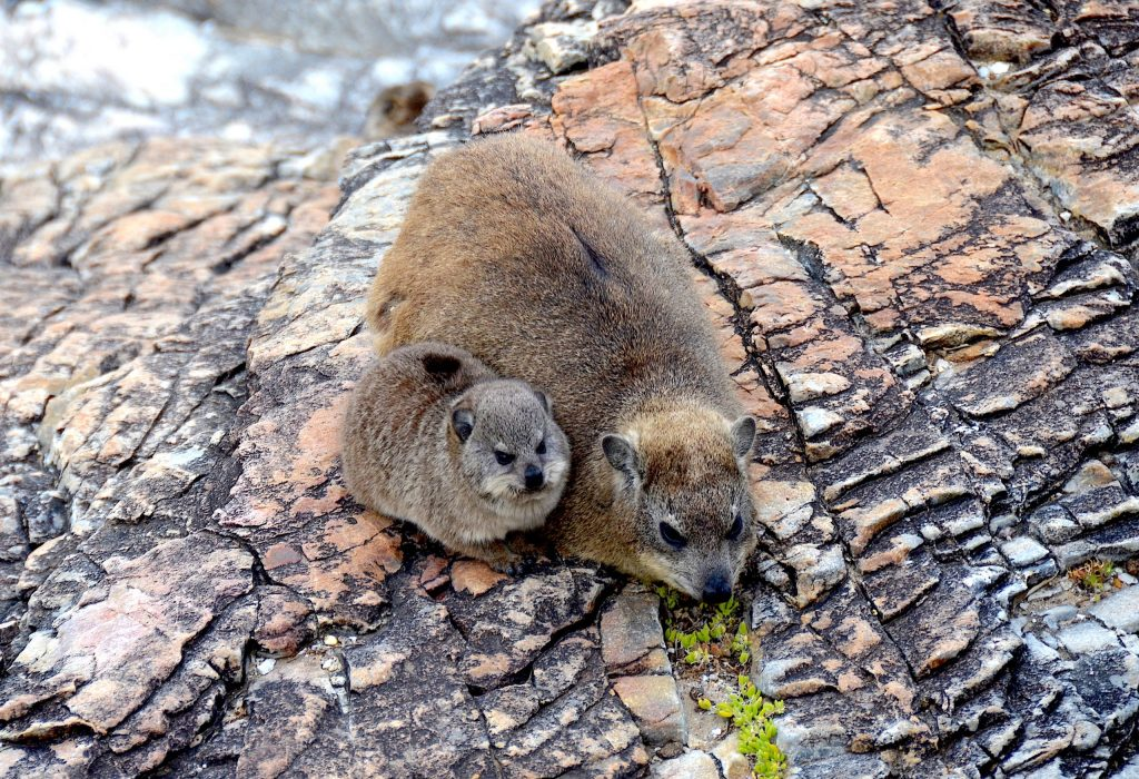 Dassie (rock hyrax), South Africa