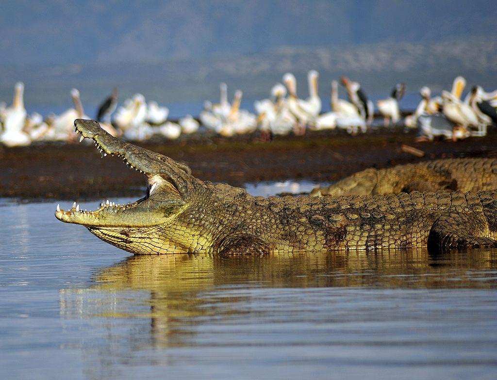 NileCrocodile Etiopia Omo River Valley