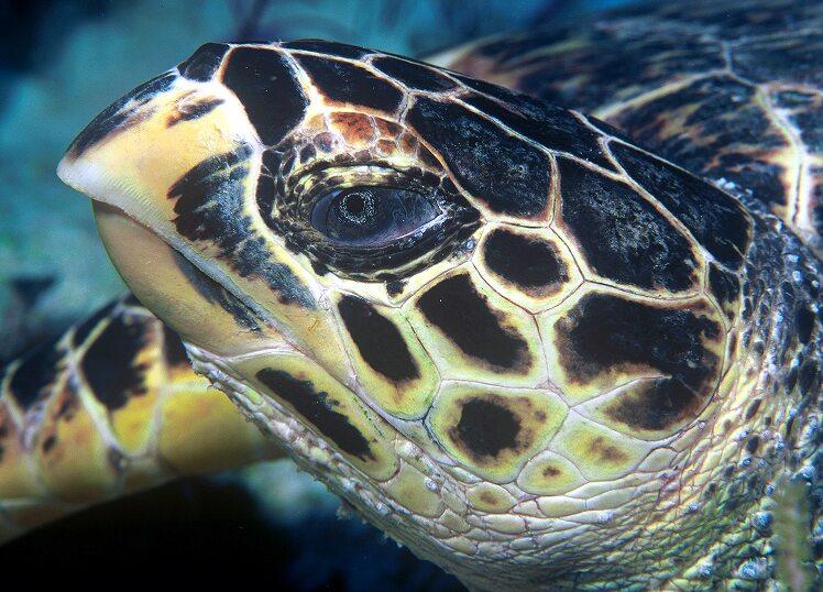 Hawksbill turtle doeppne  ()