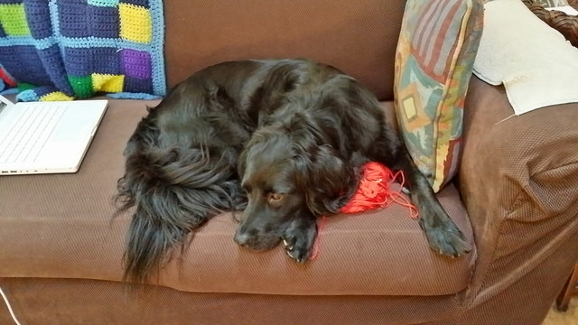 Clooney the dog crochets