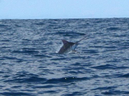 Marlin Fishing Costa Rica