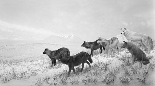 Hiroshi Sugimoto, Alaskan Wolves.