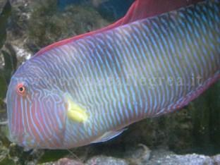 Un pesce mediterraneo tipico delle nostre acque