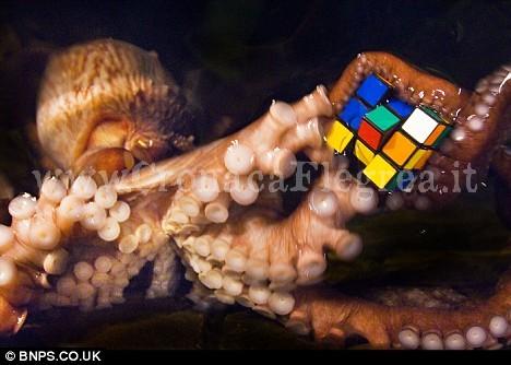 """Mavis, la """"signora polpo"""" del Sea Life Centre di Weymouth, Gran Bretagna, che """"gioca"""" con il cubo di Rubik"""