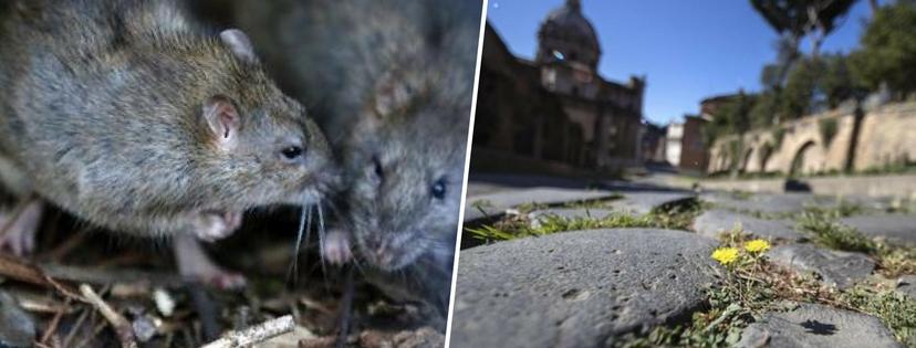 Roma, invasione di topi tra i cassonetti di Via dei Gracchi. Ma la capitale ne è piena