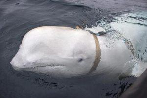 """Norvegia, pescatori intercettano balena con imbracatura: """"E' una spia russa"""""""
