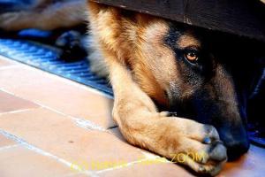 Ossona, storie da cani: salvato un pastore tedesco sperduto