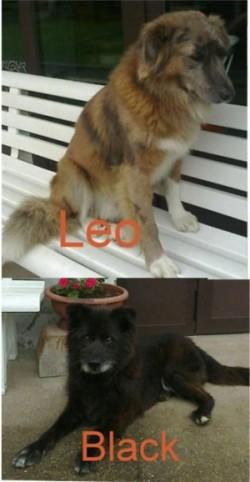 Si cercano 2 cuccioli, bleck e Leo
