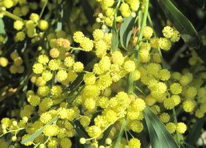 mimosa Quali significati per la Festa della donna Eventi festa della donna Prima Pagina