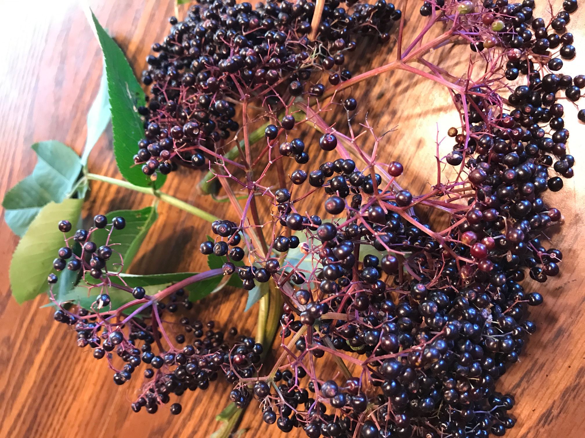 "Elderberry: The ""Good for just about everything"" plant"
