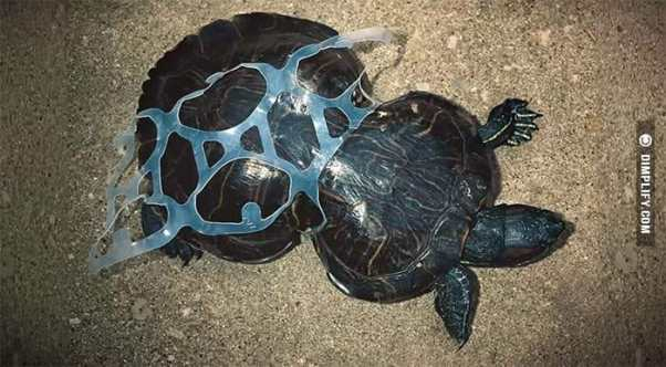 Turtle effected by plastic waste