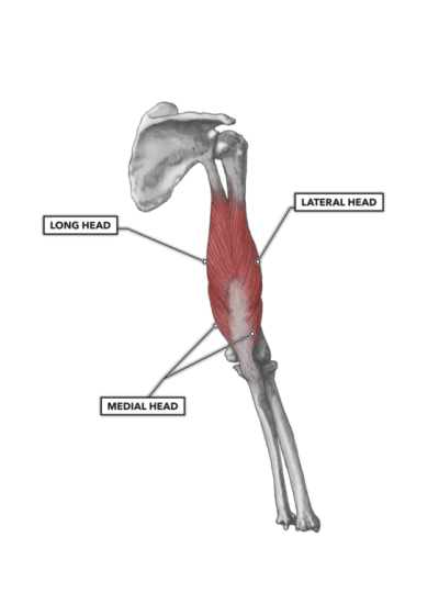 CrossFit | Elbow Musculature, Part 2: Posterior Extensors