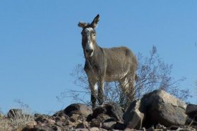 Wild donkey by creosote in bottom of Grand Canyon
