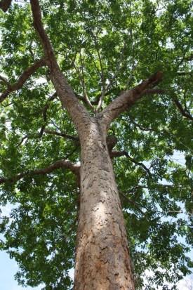 fsc-pod-mahogany-standing-tree.jpg