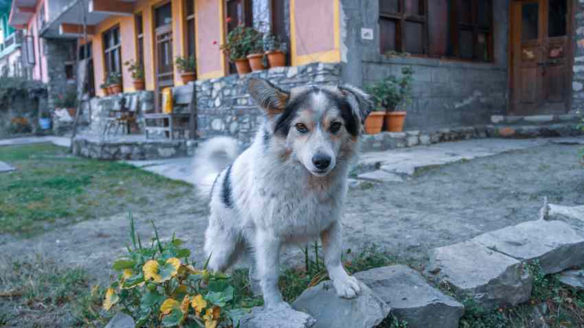 Neighbor's Dog in Jibhi Tirthan Valley