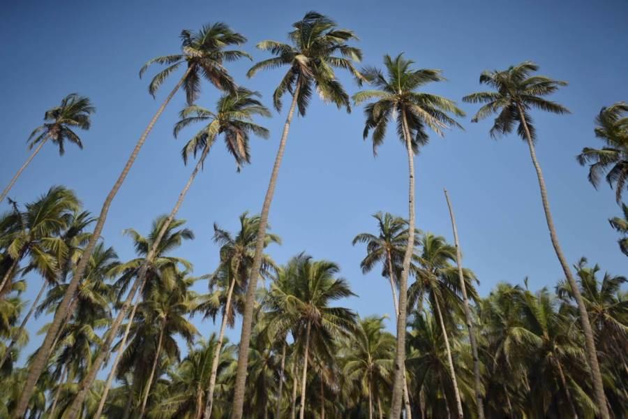 Coconut Trees on the Goa beaches