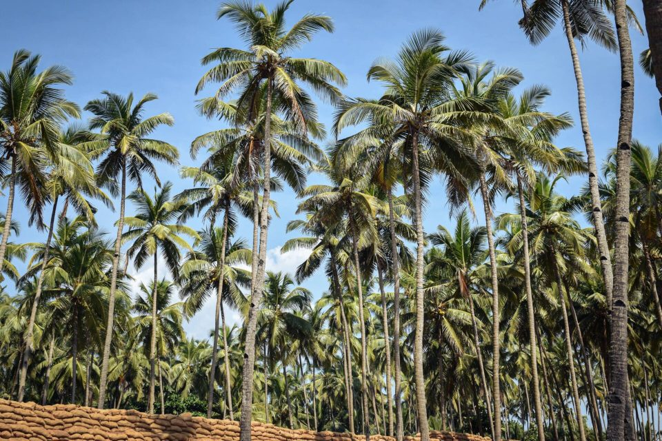 Big Coconut Trees on the Goa Beach Side