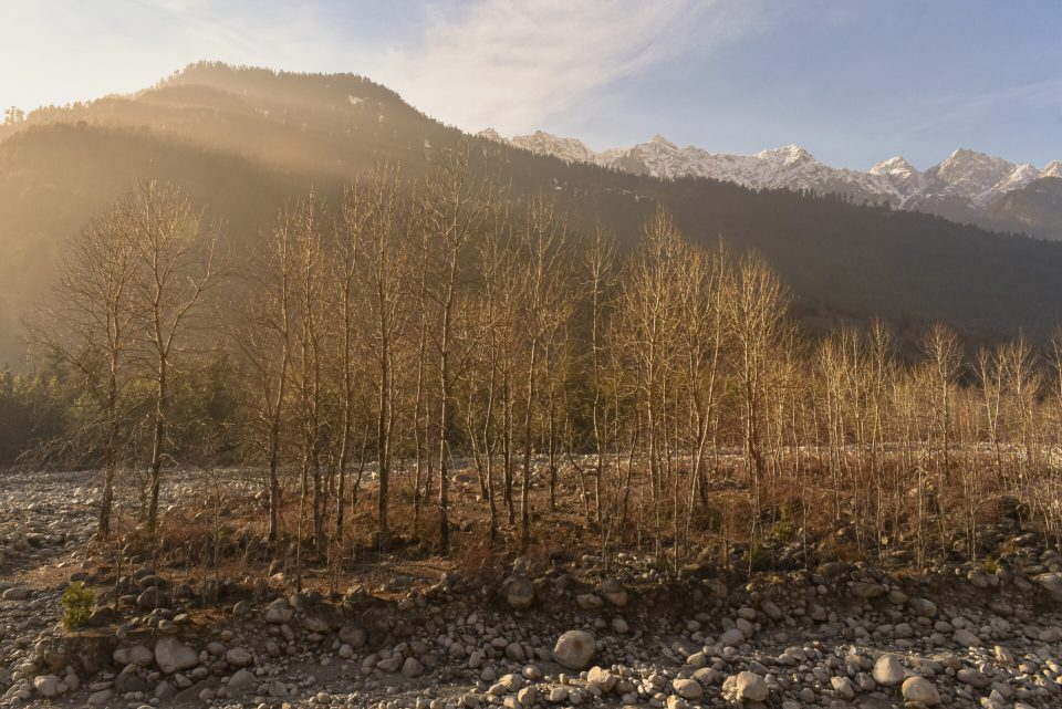 Early Morning Shine on the Trees in Manali