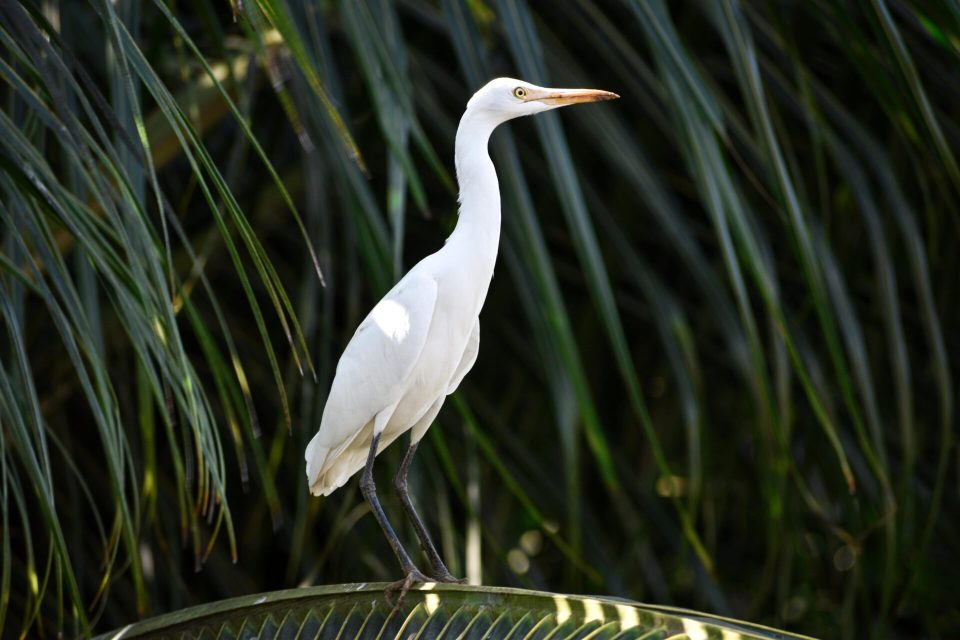 Egret in Frame- Captured during Volunteering in Goa