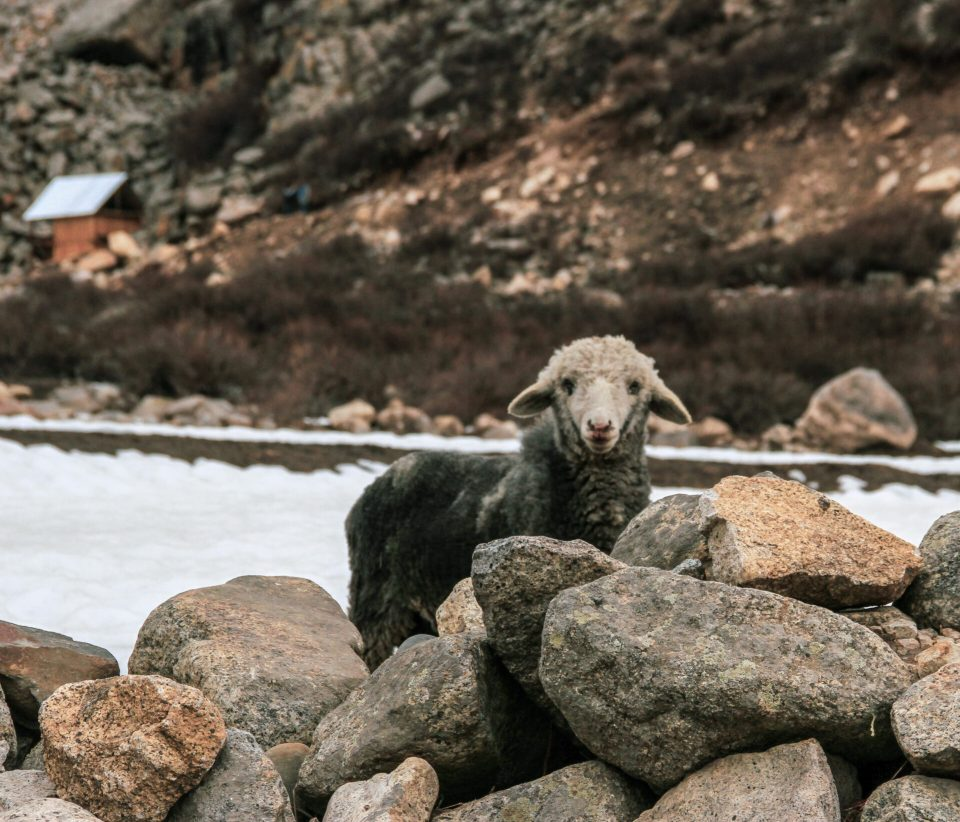Sheep in Chitkul