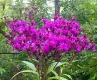Wild Flower Magenta