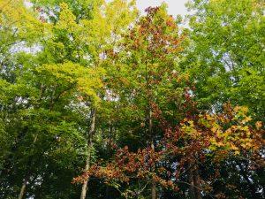 Tree Leaves Oak Forest