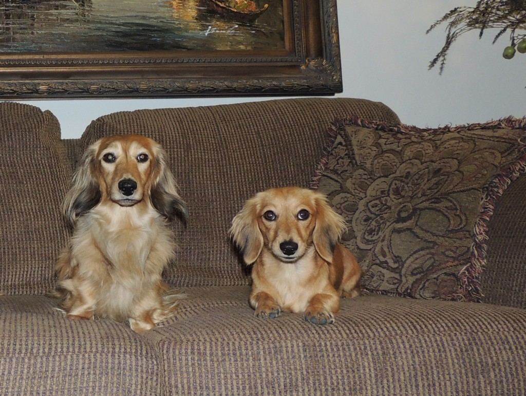 Gallery Crown Dachshunds