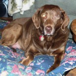 June, adoptable female, special needs, senior Chessie