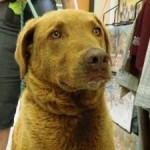 3 yr old neutered male Chessie in Iowa