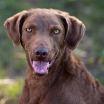 Rocky, 2 yr old male chessie