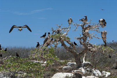 A brown Booby flies past the Noddies . toward the immature Red-footed Birds