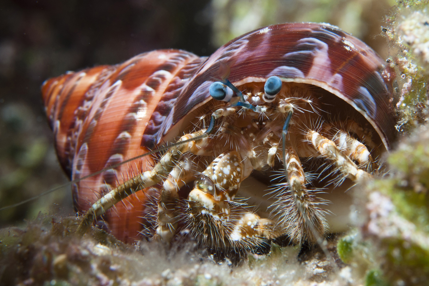 Hairy-legged Hermit Crab found during a night dive at 8m depth.