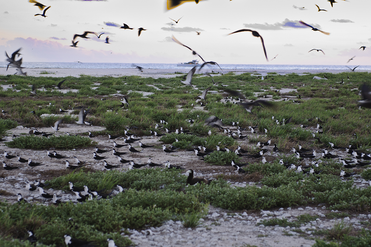 Hundreds of thousands of Sooty terns ere nesting on the northern cay.