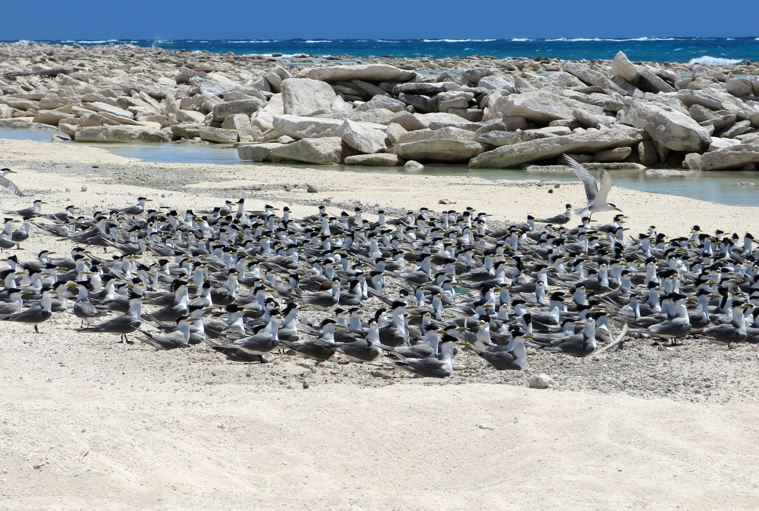 Looking SE a lethal field of coral rocks are now a huge obstacle to nesting green turtles. A large coloney of crested terns in the foreground .