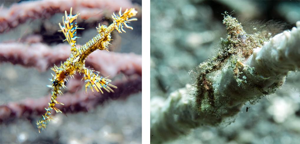 Ghost Pipefish & spider by Sylvie Jambu