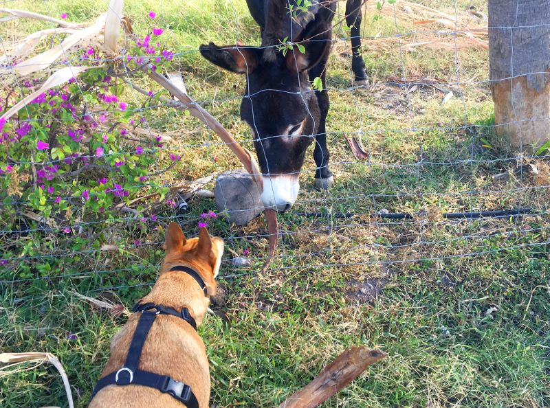 Foxy meets her first burro in Puerto Escondido